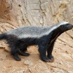 honeybadger.jpg.638x0_q80_crop-smart